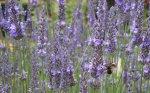Bumblebee on lavender, NZ